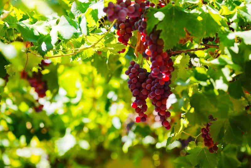 Công dụng của rượu nho Ninh Thuận